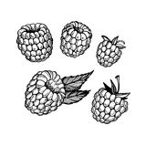 Hand-drawn vector illustration. Collection of raspberry. Line ar Stock Photos