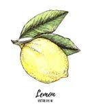 Hand drawn vector illustration - colorful Lemon. Citrus fruit wi Stock Photos
