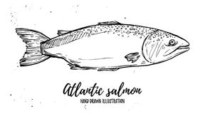 Hand drawn vector illustration - fish. Atlantic salmon. Perfect. For restaurant brochure, cafe flyer, delivery menu Stock Images