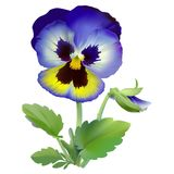 Pansy flower. Royalty Free Stock Photography