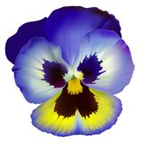 Pansy flower. Stock Photography