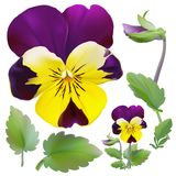 Pansy flower. Royalty Free Stock Photo