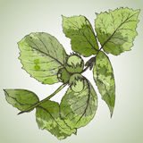 HAnd drawn vector illustration of hazelnut branch and leaves Stock Photo