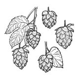 Hand drawn vector illustration - Hops plant. Perfect for malt, a. Le, lager, stout, labels, packaging etc. Sketch design element. Beer fest Stock Photos