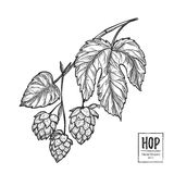 Hand drawn vector illustration - Hops plant. Perfect for malt, a Royalty Free Stock Photography