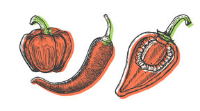 Hand drawn vector illustration of peppers set sketch style. Doodle vegetable. Elements Stock Photos