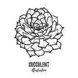 Hand drawn vector illustration - succulent. Sketch on white back Stock Photography