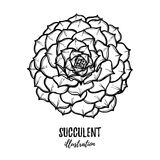 Hand drawn vector illustration - succulent. Sketch on white back Stock Photo