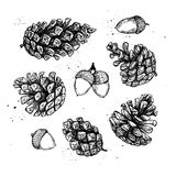 Hand drawn vector illustrations. Collection of pine cones. Stock Photos