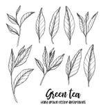 Hand drawn vector illustrations. Set of green tea leaves. Herbal royalty free illustration