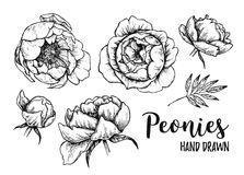 Hand drawn Vector illustrations - set of peonies (flowers, leave. S). Floral design elements isolated on white background. Tattoo. Perfect for tattooing Royalty Free Stock Photo