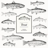 Hand Drawn Vector Illustrations of Trout. (Brook, Lake, Bull, Golden, Brown and Rainbow Royalty Free Stock Photos