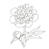 Hand drawn vector with peony flower Royalty Free Stock Photography