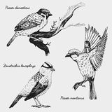 Hand drawn vector realistic bird, sketch graphic style, Royalty Free Stock Images