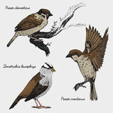 Hand drawn vector realistic bird, sketch graphic style, Stock Photography