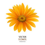 Hand drawn vector realistic illustration of Gerbera Daisy flower Stock Images