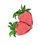 Hand drawn vector sweet strawberry. Color illustration of strawberry.sketch Stock Photography