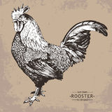 Hand-drawn vector vintage style rooster Stock Images