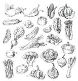 Hand Drawn Vegetable Royalty Free Stock Photo