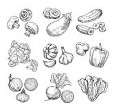 Hand drawn vegetables. Garden cauliflower, pepper and eggplant, champignons. Fresh vegan products. Sketch vegetable. Vector isolated set. Illustration of vector illustration