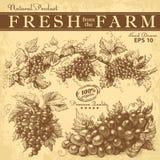 Hand drawn vintage grapes set Royalty Free Stock Photography