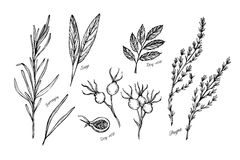 Hand drawn vintage illustration - herbs and spices (sage, tarragon, wild rose and thyme). Vector royalty free illustration
