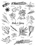 Hand drawn vintage illustration - herbs and spices. Vector royalty free illustration
