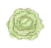 Hand drawn vintage style colorful cabbage Stock Images