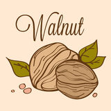Hand drawn  walnut_02. Hand drawn  illustration of walnut on light background Royalty Free Stock Photo