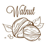 Hand drawn  walnut_01. Hand drawn line-art  illustration of walnut Stock Photo