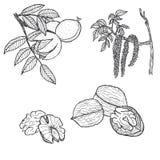 Hand drawn walnut  on white background Royalty Free Stock Photography