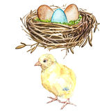 Hand drawn watercolor art bird nest with eggs and rooster, easter design. Isolated illustration on white background. Hand drawn watercolor art bird nest with Royalty Free Stock Images