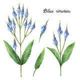 Hand drawn watercolor botanical illustration of Blue vervain. Stock Photo