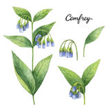 Hand drawn watercolor botanical illustration of Comfrey. Royalty Free Stock Photography
