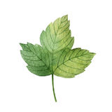 Hand drawn watercolor botanical illustration of a green leaf currant. Stock Photography