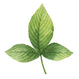Hand drawn watercolor botanical illustration of a green leaf raspberry. Royalty Free Stock Photo