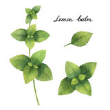 Hand drawn watercolor botanical illustration of Lemon balm. Healing Herbs for design of natural food, kitchen, market, menu Stock Image