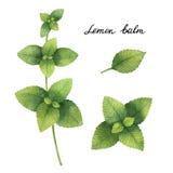 Hand drawn watercolor botanical illustration of Lemon balm. Stock Image