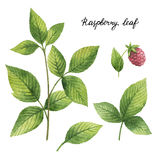 Hand drawn watercolor botanical illustration of Raspberry leaf. Royalty Free Stock Photos