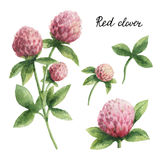 Hand drawn watercolor botanical illustration of Red clover. Healing Herbs for design of natural food, kitchen, market, menu royalty free illustration