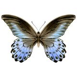 Hand drawn watercolor of blue and black butterfly.