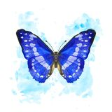 Hand drawn watercolor butterfly Morpho Cypris on splattered background