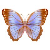 Hand drawn watercolor of butterfly Morpho menelaus.