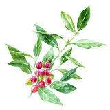 Hand drawn watercolor coffee plant. Branch on white background royalty free illustration