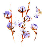 Hand drawn watercolor Cotton boll. Can be used as a greeting card for background. Stock Photo