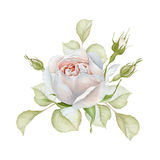 Hand drawn watercolor delicate white rose bouquet Royalty Free Stock Images