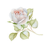 Hand drawn watercolor delicate white rose Royalty Free Stock Images