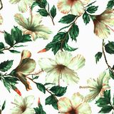 Hand-drawn  watercolor floral seamless pattern with the tender white hibiscus flowers. On the white background in vintage style. Natural tropical and vibrant Royalty Free Stock Images