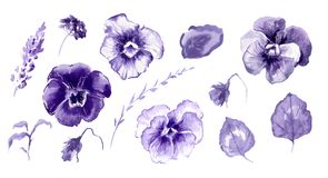 Free Hand Drawn Watercolor Illustration African Violet Flowers Royalty Free Stock Photography - 106675217