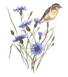 Hand-drawn watercolor illustration of the blue cornflower blossom and the little field bird. Isolated floral drawing of the summer meadow flowers on the white Royalty Free Stock Photo